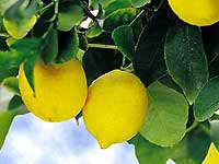 Lemon - a marvellous gift from nature